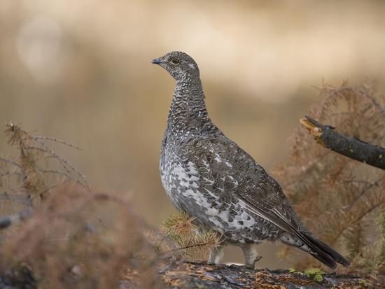 joe-mcdonald-blue-grouse-dendragapus-obscurus-western-north-america