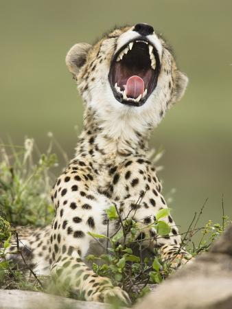 joe-mcdonald-cheetah-with-its-mouth-open-showing-its-teeth-and-tongue-acinonyx-jubatus