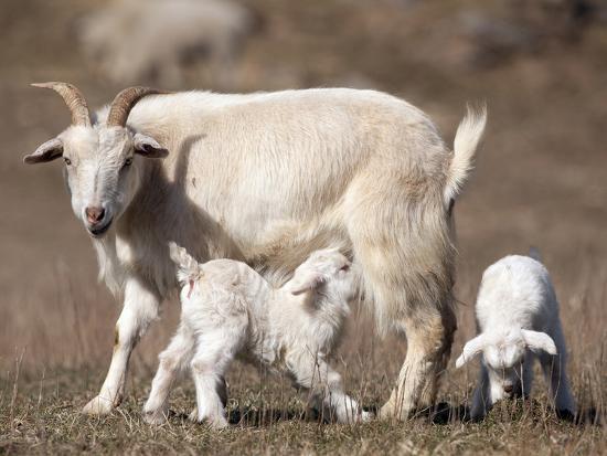joe-mcdonald-domestic-goat-capra-aegagrus-hircus-nursing-one-of-its-babies-in-a-barnyard