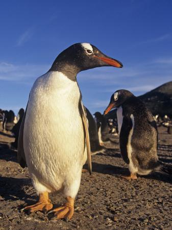 joe-mcdonald-gentoo-penguin-pygoscelis-papua-falkland-islands