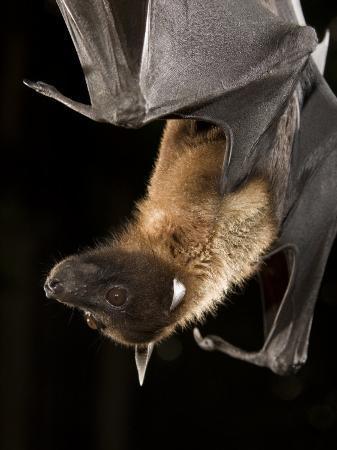joe-mcdonald-giant-fruit-bat