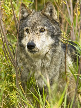 joe-mcdonald-gray-wolf-canis-lupus-wyoming-usa
