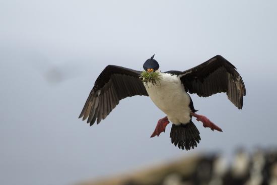 joe-mcdonald-king-cormorant