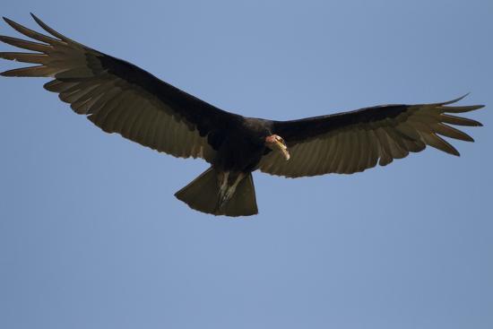 joe-mcdonald-lesser-yellow-headed-vulture