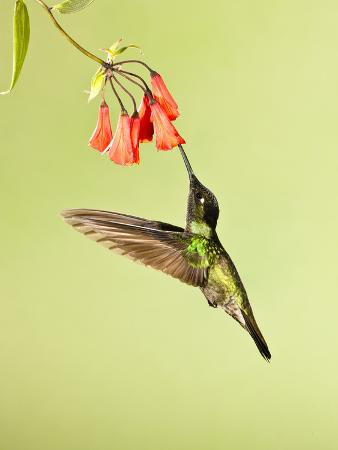 joe-mcdonald-magnificent-hummingbird-nectaring-at-a-red-tubular-flower-eugenes-fulgens-costa-rica