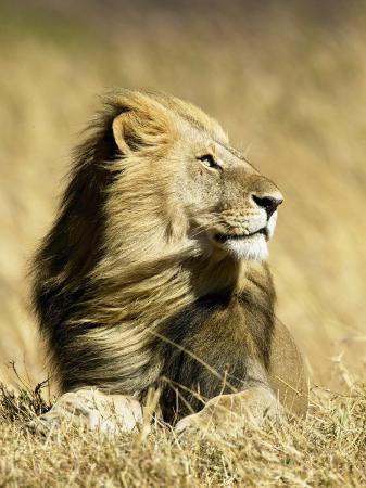 joe-mcdonald-male-african-lion-panthera-leo-resting-in-savanna-grasses-masai-mara-game-reserve-kenya-africa