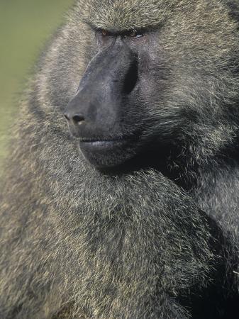 joe-mcdonald-male-yellow-baboon-face-papio-cynocephalus-kenya-africa