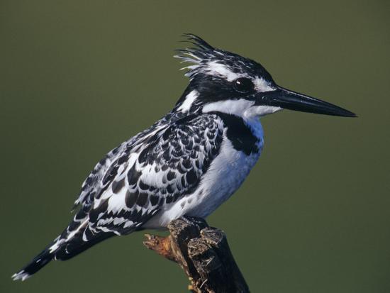 joe-mcdonald-pied-kingfisher-ceryle-rudis-lake-navasha-kenya