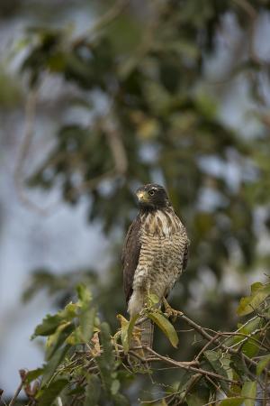 joe-mcdonald-roadside-hawk