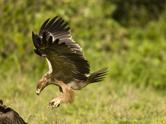 joe-mcdonald-tawny-eagle-diving-at-prey-aquila-rapax-masai-mara-kenya-africa