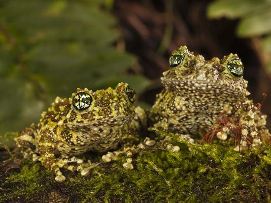 joe-mcdonald-vietnamese-mossy-frog-central-pennsylvania-usa