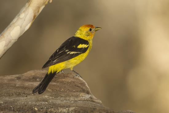 joe-mcdonald-western-tanager-male