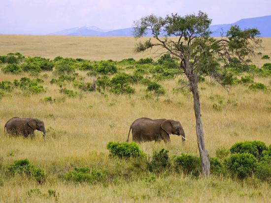 joe-restuccia-iii-african-elephant-grazing-in-the-fields-maasai-mara-kenya
