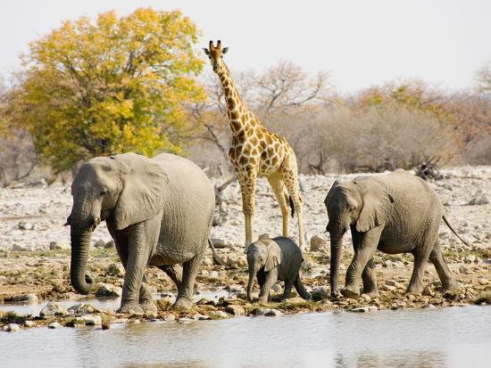 joe-restuccia-iii-african-elephants-and-giraffe-at-watering-hole-namibia