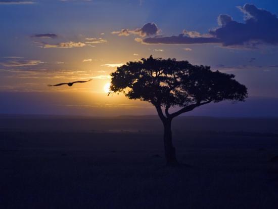joe-restuccia-iii-early-sunrise-on-vulture-gliding-in-silhouetted-tree-of-the-maasai-mara-kenya