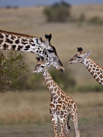 joe-restuccia-iii-maasai-giraffe-masai-mara-kenya