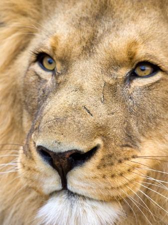 joe-restuccia-iii-male-lion-at-africat-project-namibia