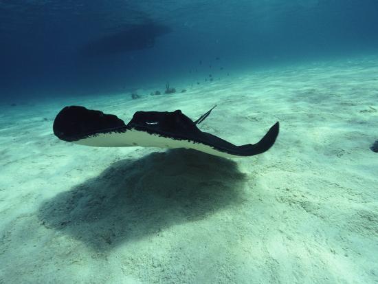 joe-stancampiano-stingray-cayman-islands-west-indies