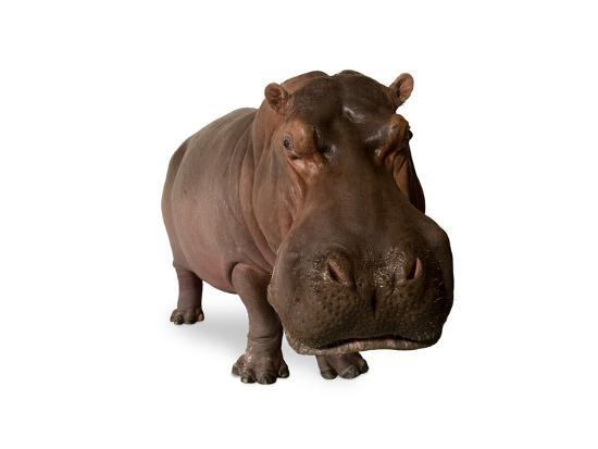 joel-sartore-a-hippo-hippopotamus-amphibius