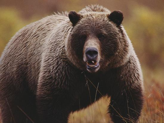 joel-sartore-a-large-adult-grizzly-bear-faces-the-camera