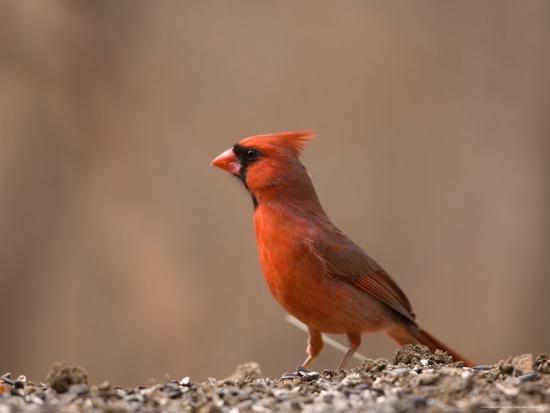 joel-sartore-a-male-northern-cardinal-cardinalis-cardinalis-on-a-spring-day