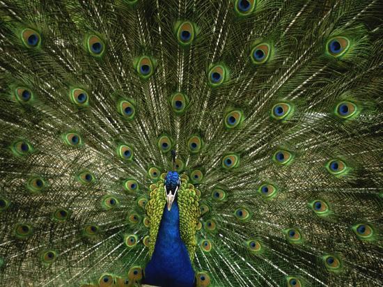 joel-sartore-a-male-peacock-displays-his-plumage