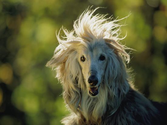 joel-sartore-a-portrait-of-an-afghan-hound-dog
