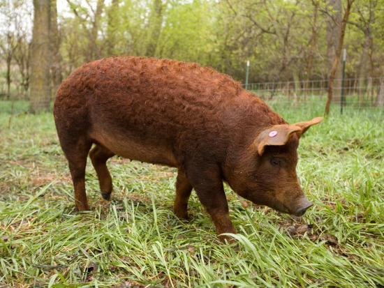joel-sartore-a-red-wattle-pig-on-a-farm-in-kansas