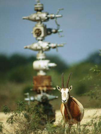 joel-sartore-a-scimitar-horned-oryx-next-to-an-oil-and-gas-well