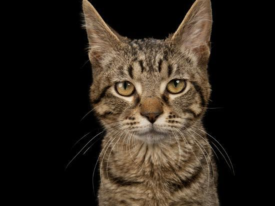 joel-sartore-a-studio-portrait-of-a-brown-tabby-cat