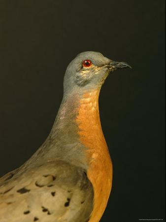 joel-sartore-a-stuffed-and-mounted-passenger-pigeon-on-display-at-a-museum