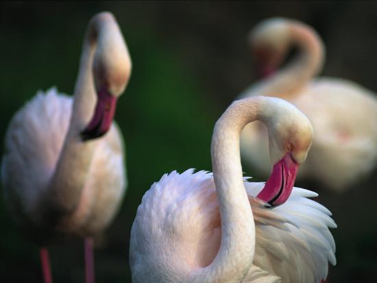 joel-sartore-american-flamingos