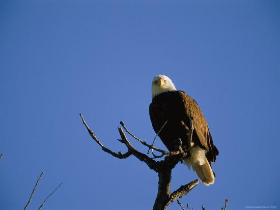 joel-sartore-an-american-bald-eagle-perched-in-a-tree-lake-manawa-iowa