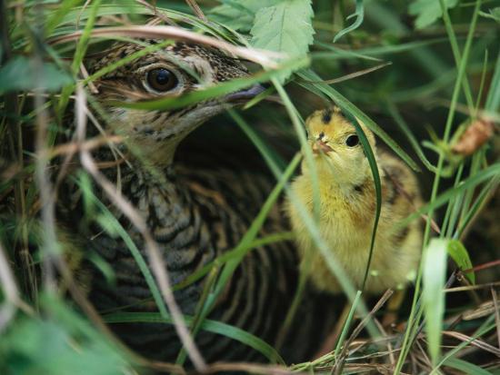 joel-sartore-an-attwaters-prairie-chicken-and-her-chick