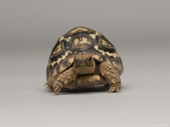 joel-sartore-baby-leopard-tortoise-at-the-lincoln-children-s-zoo-nebraska