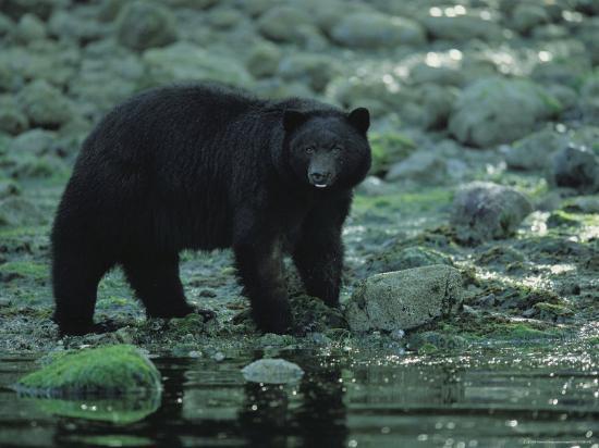 joel-sartore-black-bear-fishing