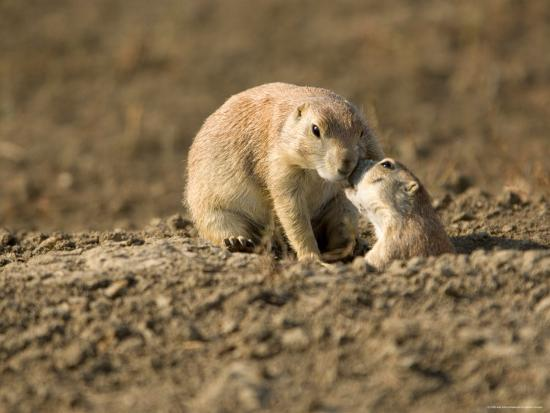 joel-sartore-black-tailed-prairie-dogs-in-eastern-montana