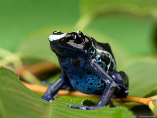 joel-sartore-blue-and-yellow-poison-dart-frog-sunset-zoo-kansas