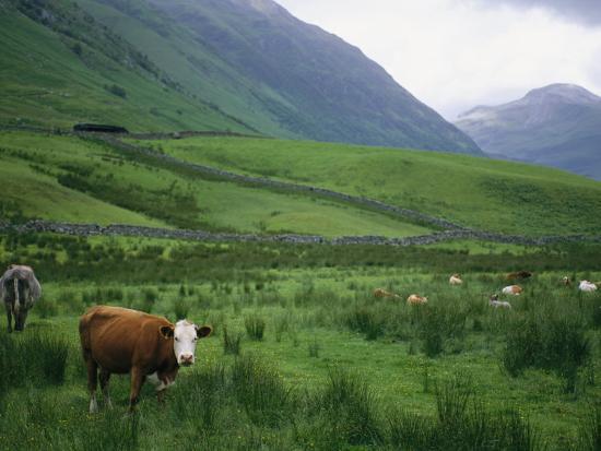 joel-sartore-cattle-graze-in-fields-fenced-with-stone-walls