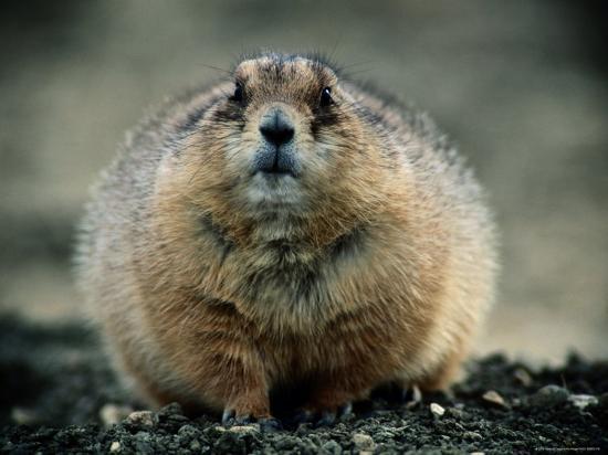joel-sartore-close-view-of-a-fat-prairie-dog