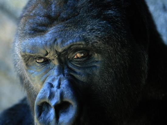 joel-sartore-close-view-of-a-gorilla