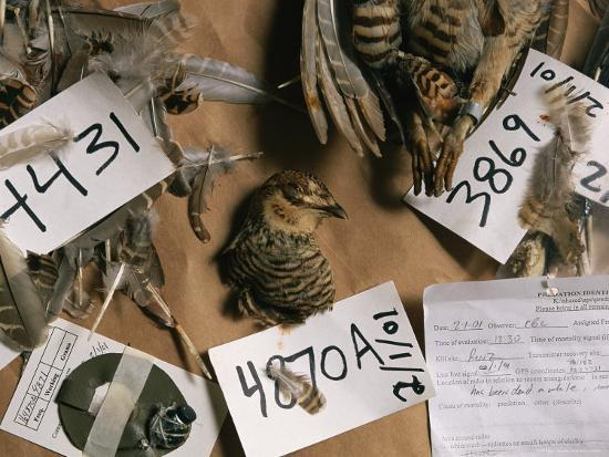 joel-sartore-dead-attwaters-prairie-chickens-tympanuchus-cupido-attwateri-with-paper-tags-on-them