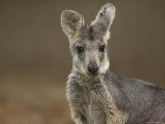 joel-sartore-female-wallaroo-at-the-sedgwick-county-zoo