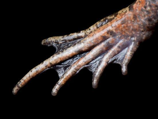 joel-sartore-foot-of-a-california-red-legged-frog