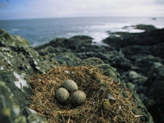 joel-sartore-glaucous-winged-gull-nest-with-three-eggs-on-rock