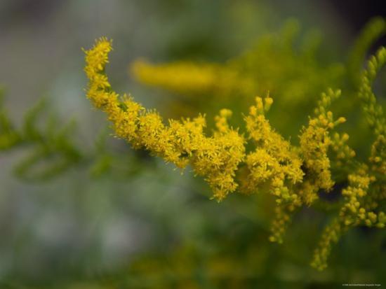 joel-sartore-goldenrod-the-nebraska-state-flower