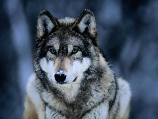 joel-sartore-gray-wolf-at-the-international-wolf-center-near-ely