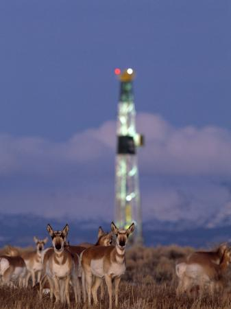 joel-sartore-herd-of-pronghorns-graze-near-a-natural-gas-drilling-rig