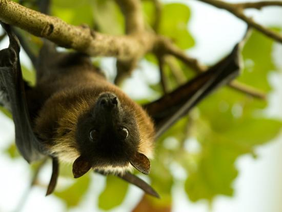 joel-sartore-indian-flying-fox-from-the-sedgwick-county-zoo-kansas