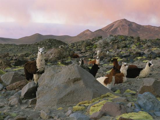 joel-sartore-llamas-at-rest-in-a-rocky-landscape-under-a-pink-twilit-haze